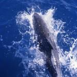 Delfino-Australia
