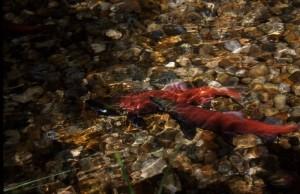 Salmoni- Red Fish Creek-Canada